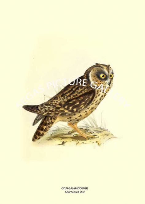 Fine art print of the OTUS GALAPAGOENSIS --- Short-Eared Owl  by John Gould (1841)